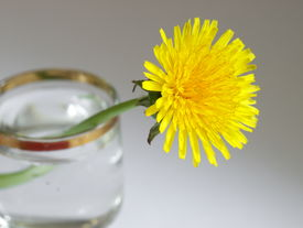 Yellow dandelion is in the glass.