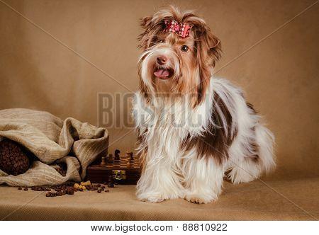 biewer yorkshire terrier puppy on brown background
