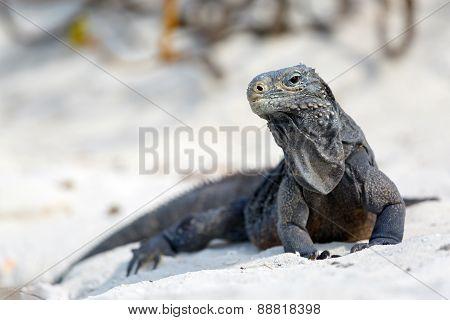 Island iguanas in wildlife.