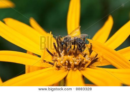 Bee On Ligularia