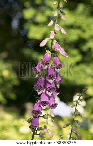 foxglove plant