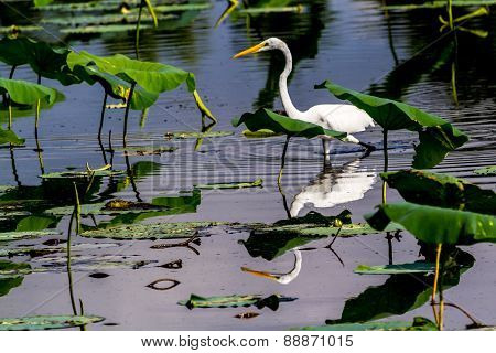 A Beautiful Great White Egret Among Lotus Water Lilies Reflected in the Water