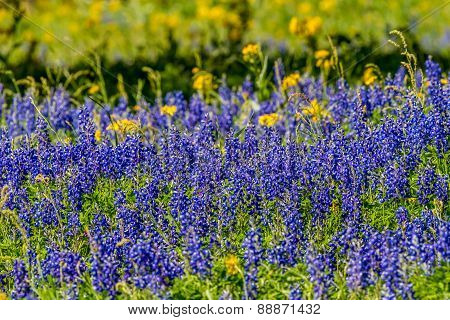A Zoomed in View of a Beautiful Field Blanketed with the Famous Texas Bluebonnet (Lupinus texensis) and a few Yellow  Cut Leaf Groundsel (Packera tampicana) Wildflowers. poster