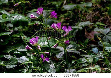 Violet Wood Sorrel (Oxalis violacea) Wildflowers
