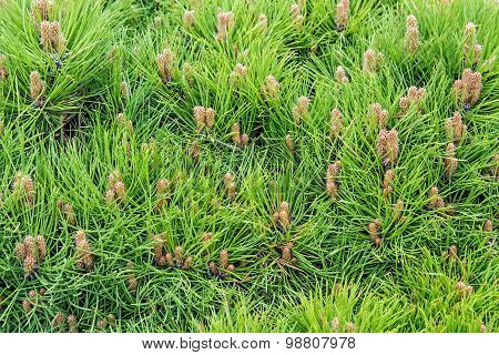 Needles Of Dwarf Pines.