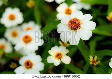 Plains Blackfoot Flowers