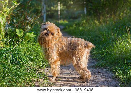 Dog Breed Brussels Griffon Walks
