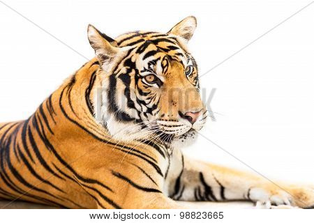 Siberian Tiger Isolated