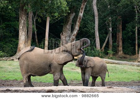 The Elephant Calf Drinks At Mum From A Mouth.