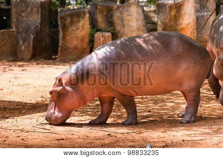 Hippopotamus is a herbivorous animal mammals are swimming poster