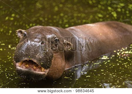 Hippopotamus, animals, mammals and herbivorous. Originated in Africa poster