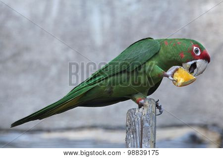 Mitred parakeet (Psittacara mitrata) eats a piece of orange. Wild life animal.