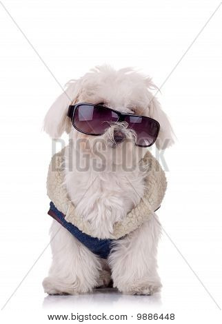 seated bichon maltese is wearing blue outfit and sunglasses poster