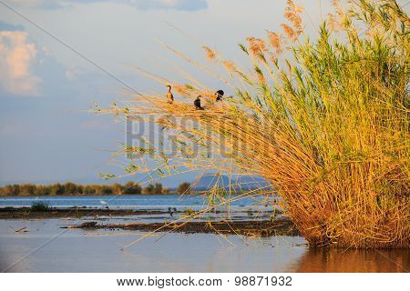 Group Of Birds Sitting In The Reed At Sunset