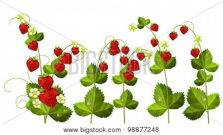 Wild strawberry - flowers and berries isolated on white