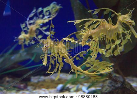 The leafy seadragon, Phycodurus eques, is often yellow and has many leaf-like appendages to help it blend in. poster