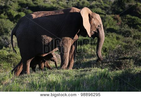 Wild African Elephant Mom and Baby