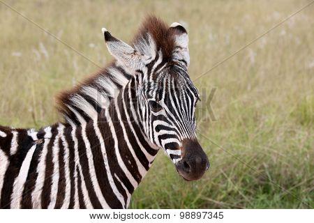 Wild Young Zebra Portrait