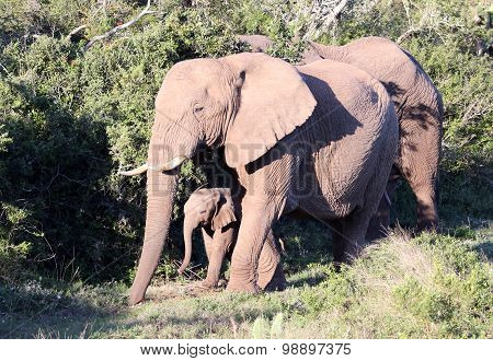 Wild African Elephant Baby and Family