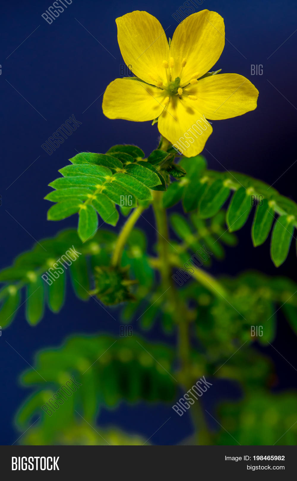 Yellow Small Flower Image Photo Free Trial Bigstock