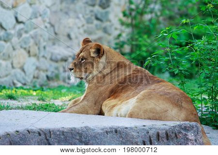 Lioness rests on a stone in the summer