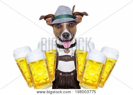 jack russell dog holding couple of beer mugs isolated on white background ready for the beer party celebration festival in munich