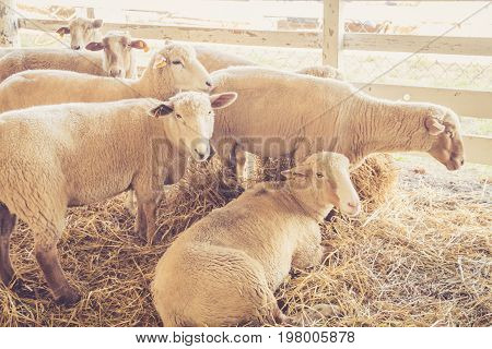 Sheep (Ovis aries) relax in their stall at the county fair in vintage garden setting