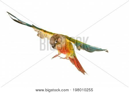 Green-cheeked parakeet in front of white background