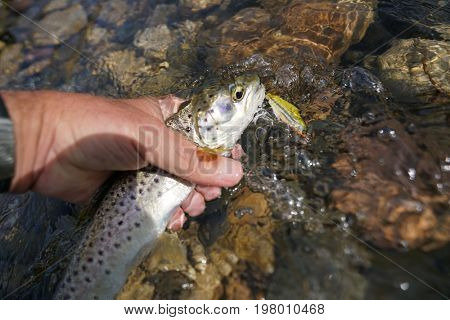 Brown trout catch with swimmer
