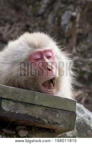 Close up of a yawning snow monkey on a wood plank. This red faced monkey is a Japanese macaque photographed in natural light in Japan.