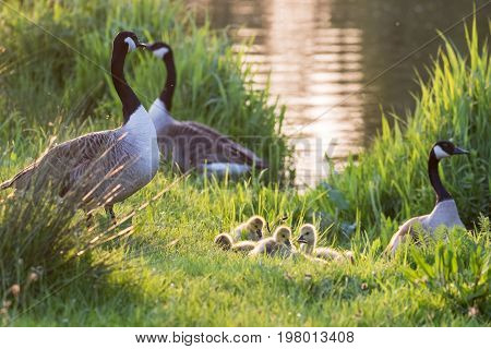Canada Goose Geese Family (branta Canadensis) With Goslings On A River Bank In Late Evening Light
