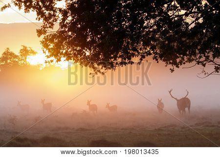 Silhouette Of Red Deer (cervus Elaphus)  Stag Gathering Or Herding His Hareem Of Hinds Or Females Du