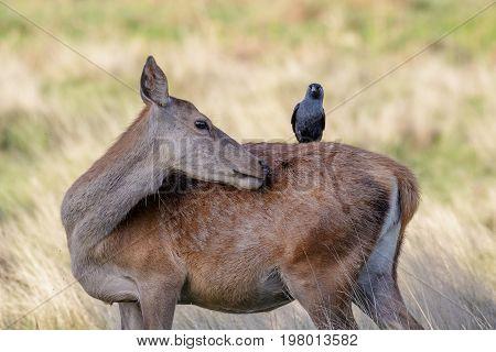 Grooming Red Deer Female Hind (cervus Elaphus) With  Jackdaw On Back