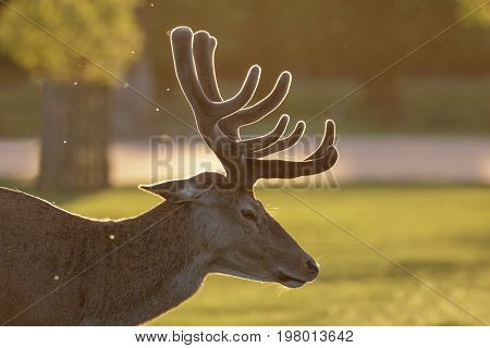 Backlit Red Deer Stag (cervus Elaphus)  Portrait In Growing Velvet Antlers On A Spring Evening