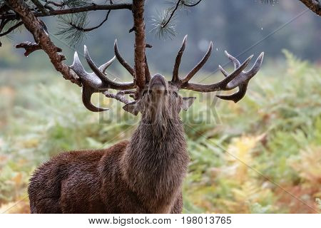 Red Deer (cervus Elaphus)  Stag Sharpening Up His Antlers Or Possibly Marking Territory On Fir Tree