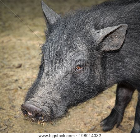 Portrait of  funny vietnamese pig on a farm.  The black pig stand in the straw and mud