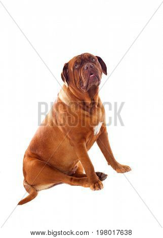Close-up of Dogue de Bordeaux isolated on a white background