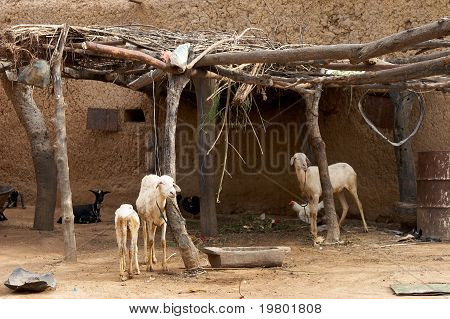 Goats in African village