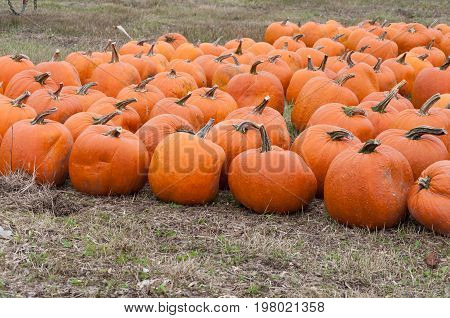 Pumpkins harvesting in farm. Fall in Ontario Canada