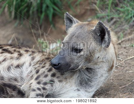 Female African hyenas. Spotted hyena in Kruger Park. South Africa