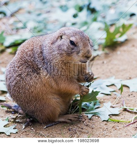 A black-tailed prairie dog eating green leaves