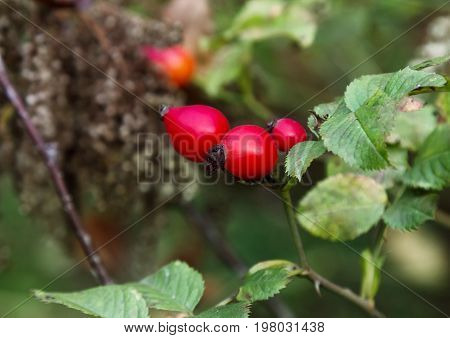 Red berry of dogrose (dog-bramble) in the autumn garden close-up view