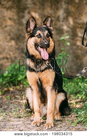Beautiful German Shepherd Dog Sit In Green Grass. Alsatian Wolf Dog Or German Shepherd Dog On Green Grass. Deutscher Dog.