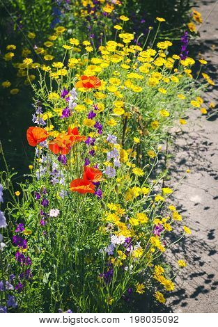Close up of a coreopsis pubescens called star tickseed, poppy and delphinium. Yellow lanceleaf coreopsis (tickseed or sand) in colourful flower border with a delphinium high (Delphinium elatum L.).