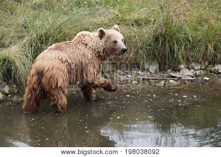Portrait of a brown bear in the nature