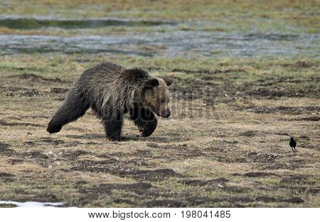a grizzly cub runs toward a bird