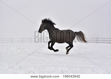 Horse gallops in winter. Beautiful horse running outdoor in winter