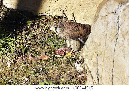beautiful female Common Kestrel (Falco tinnunculus) standing on ground