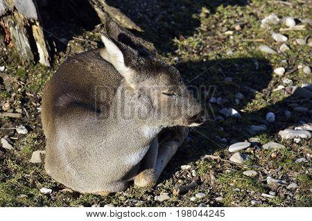 Mammals - Roe-deer (Capreolus capreolus). Wild roe deer (Capreolus capreolus) in a field