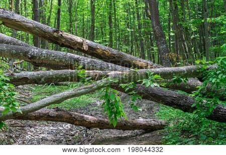 Road in a forest littered with tree trunks.